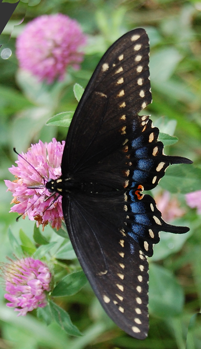 Black Swallowtail butterfly by Anne Loeffler